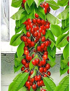 Колоновидная черешня Красная помада в Дербенте