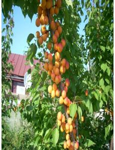 Колоновидный абрикос Первайс в Дербенте