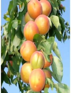 Колоновидный абрикос Радости жизни в Дербенте