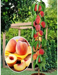 Колоновидный персик Медовый в Дербенте