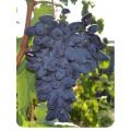 Виноград Викинг в Дербенте