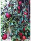 Яблоня Рихард в Дербенте