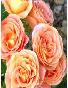 Роза Экзотика в Дербенте