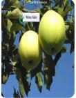 Яблоня Белый Налив в Дербенте