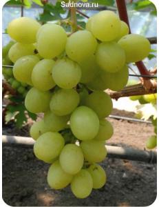 Виноград Валек в Дербенте