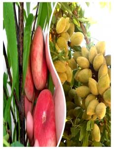 Комплект из 2-х сортов в Дербенте - Миндаль Нонпарель + Инжирный персик Маршмеллоу