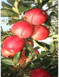 Яблоня Книп-Баум Галла Мондиал в Дербенте