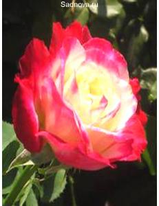 Роза Дабл Дилайт в Дербенте