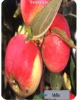 Яблоня Мельба в Дербенте