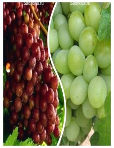 Комплект из 2-х сортов в Дербенте - Виноград Граф Монте Кристо + Виноград Александрит