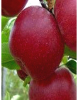 Яблоня Джонатан в Дербенте