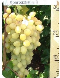 Виноград Долгожданный в Дербенте