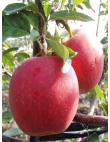 Яблоня Гала Маст в Дербенте