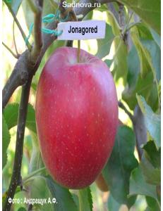 Яблоня Джонагоред в Дербенте