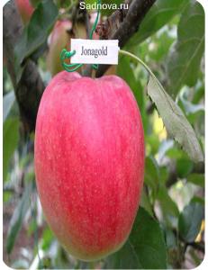Яблоня Джонаголд в Дербенте