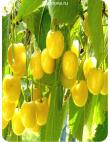 Черешня Дрогана Желтая в Дербенте