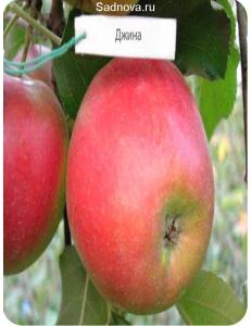 Яблоня Джина в Дербенте