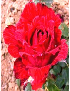 Роза Ред Интуишн в Дербенте