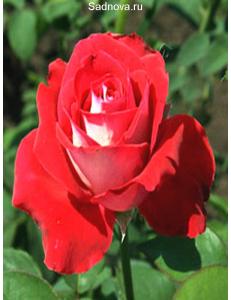 Роза Луксор в Дербенте