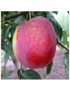 Яблоня Виста Белла в Дербенте