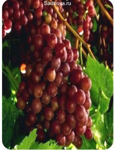 Виноград Граф Монте Кристо в Дербенте