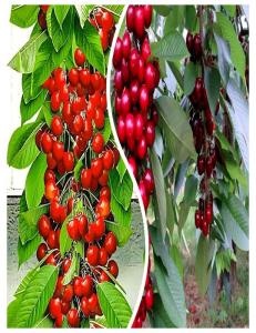 Комплект из 2-х сортов в Дербенте - Колоновидная черешня Красная помада + Колоновидная черешня Квин Мери