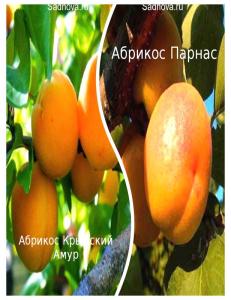 Комплект из 2-х сортов в Дербенте - Абрикос Парнас + Абрикос Крымский Амур