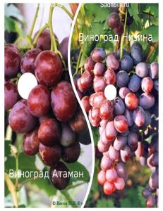 Комплект из 2-х сортов в Дербенте - Виноград Атаман + Виноград Низина