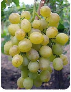 Виноград Восторг в Дербенте